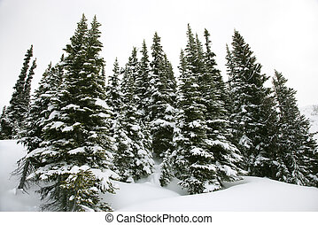 coperto, neve, pino, alberi.