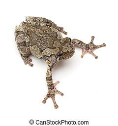 Treefrog - Cope's Gray Treefrog (Hyla chrysoscelis) on a...