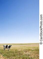 copie, vache, espace