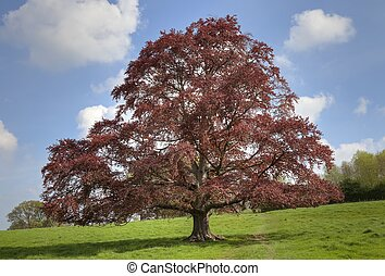Copper Beech tree, Cotswolds, England - Copper beech tree at...