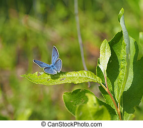 copper-butterfly in the forest