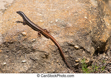 copper-tailed, skink, 中に, 青い山地, 中に, australia.