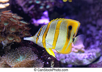 copperband, butterflyfish