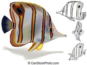 copperband, komplet, butterflyfish