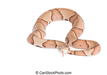Copperhead Agkistrodon contortrix isolated