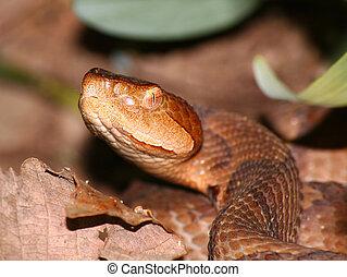 Copperhead Snake (Agkistrodon contortrix)