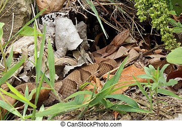 Copperhead snake camouflaged in leaves and grass - A...