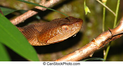 Copperhead Snake - United States