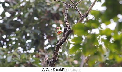 Coppersmith Barbet Megalaima haemacephala Cute Birds of...