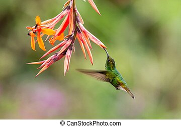 Coppery-headed Emerald, Elvira cupreiceps, hovering next to orange flower, bird from mountain tropical forest, Waterfall Gardens La Paz, Costa Rica, beautiful hummingbird sucking nectar from blossom