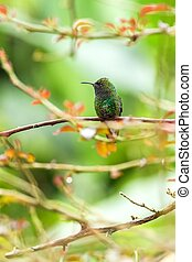 coppery-headed emerald Elvira cupreiceps sitting on branch, bird from mountain tropical forest, Waterfalls garden, Costa Rica, bird perching on branch, space in background, tiny beautiful hummingbird