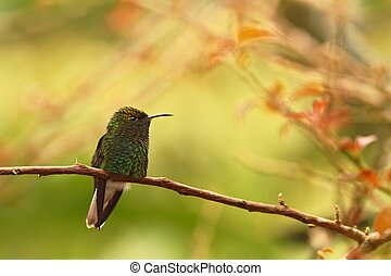 coppery-headed emerald Elvira cupreiceps sitting on branch, bird from mountain tropical forest, Waterfalls garden, Costa Rica, bird perching on branch, enough space in background, tiny beautiful bird