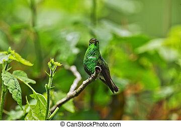 Coppery-headed Emerald Hummingbird, Costa Rica