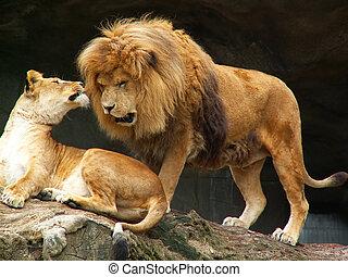 coppia, leoni