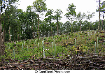 Coppice wood with newly planted trees - Recently coppiced ...