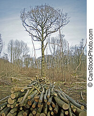Coppice woodland with logs stacked as cord wood in ...
