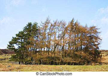 Copse - Acopse, or small group, of trees, some at crazy...
