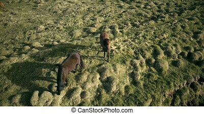 Copter flying over the two horses on the lava field in Iceland. Wild animals grazing on the green meadow.