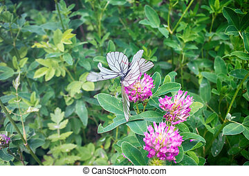 copulatie, vlinder, -, black-veined, witte