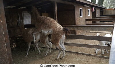 Copulation. Llama copulate