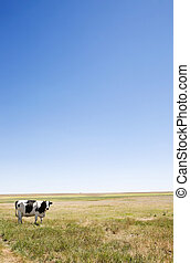 Copy Space Cow - A cow standing dumbfounded on the prairies...