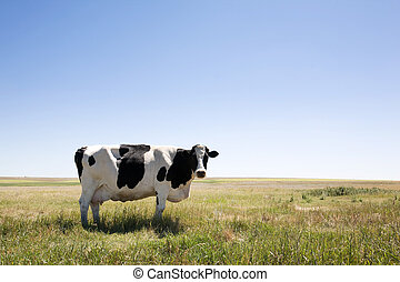 A cow standing dumbfounded on the prairies with large copy space in the sky and grass