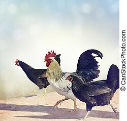 coq, et, chickens.