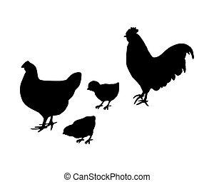 coq, et, poule, et, poussins