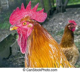coq, et, poule