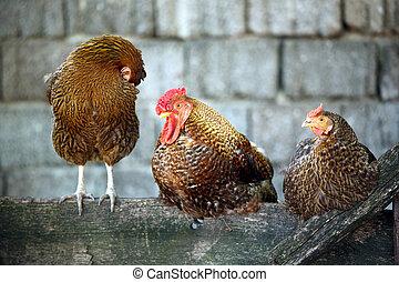 coq, et, poules