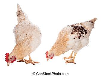 coq, et, poulet