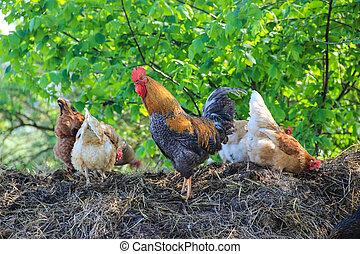 coq, et, poulets