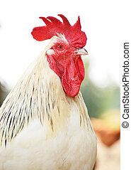 coq, sur, traditionnel, gamme libre, volaille, ferme