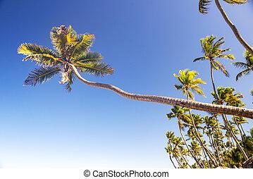 coqueiros, contra, céu azul, em, punta, cana, praia, república dominicana
