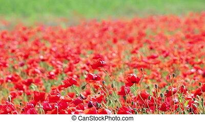 coquelicots, vent, souffler, fleur, rouges