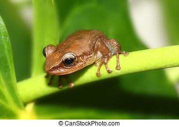 Coqui Frog - Common coqui frog on anthurium plant,Coqui is...