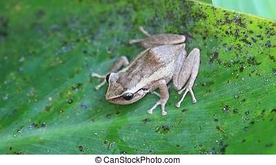 coqui frog - close-up of coqui frog on green leaf,coqui is a...