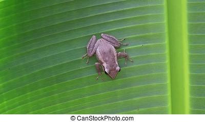 coqui frog on banana leaf, coqui frog is a tree frog native...