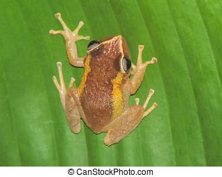 "Coqui frog - Tree frog""COQUI"" Native to Puerto Rico"
