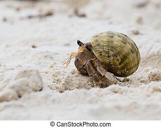 coquille, crabe, escargot, ermite