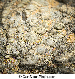 coquille, fossile