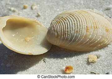 coquille, ouvert