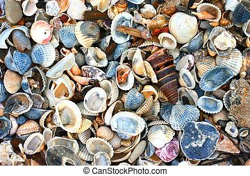 coquilles, variété, mer