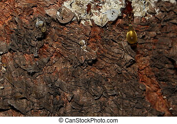 cor, coniferous, ladrar, árvore, marrom