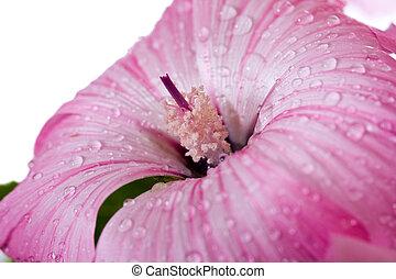 cor-de-rosa, água, flor, gotas
