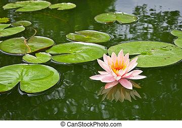 cor-de-rosa, água folha mentira, lagoa