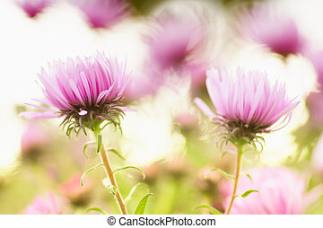 cor-de-rosa, abstratos, flores, fundo