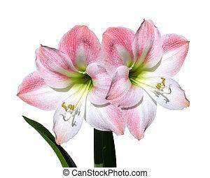 cor-de-rosa, amaryllis, flores, isolado