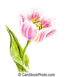cor-de-rosa, aquarela, painting., tulips