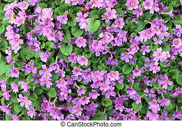 cor-de-rosa, arbusto